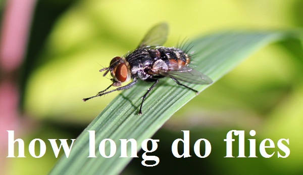 Do You Know How Long Do Flies Live