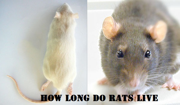 Do you Know How Long Do Rats Live